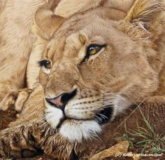 Lion Around by Kathryn Hansen, Colored Pencil, 16 x 16.5 x 0 Drawing Process, Drawing Techniques, Drawing Tutorials, Colored Pencil Tutorial, Colored Pencil Techniques, Beautiful Drawings, Beautiful Artwork, How To Draw Fur, Amazing Paintings