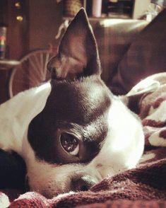 Uplifting So You Want A American Pit Bull Terrier Ideas. Fabulous So You Want A American Pit Bull Terrier Ideas. Terrier Breeds, Dog Breeds, Cãezinhos Bulldog, Bulldog Puppies, Baby Bulldogs, Lab Puppies, Chihuahua Dogs, Cute Puppies, Cute Dogs