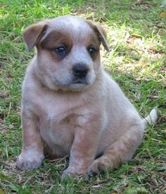 Red Heeler (Australian Cattle Dog) puppy. by animalinfo....Precious dogs for precious cowgirls and cowboys!