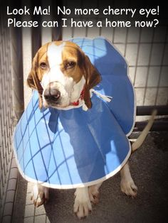 """DONNER is an adult, male Treeing Walker Coonhound available at the Pocahontas County Animal Shelter in Marlinton, WV. He is neutered, UTD on shots, and HW neg. Donner is past his """"Due Out Date"""" and urgently needs rescue or adoption! VIDEO of Donner here: http://youtu.be/sImErhBJWkM  More PHOTOS here: https://www.facebook.com/media/set/?set=a.318410001602166.66199.257761584333675=3  PLEDGE TOTAL = $83  For adoption and rescue info email: asapwva@gmail.com"""