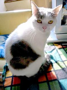 69 Valentine Cats with Fur Hearts | Pictures of Cats - Band of Cats