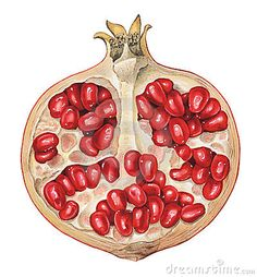 Illustration about Detailed illustration of a piece of pomegranate. Illustration of isolated, pomegranate, color - 17869252 Pomegranate Tattoo, Watercolor Fruit, Fruit Painting, Watercolor Paintings, Botanical Drawings, Botanical Art, Botanical Illustration, L'art Du Fruit, Tattoos
