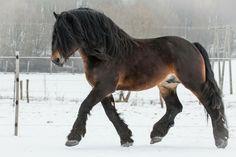 photography by Haga Zsuzsanna / hungarian drafthorse stallion - Chief www. Big Horses, Horses And Dogs, Cute Horses, Pretty Horses, Horse Love, Animals And Pets, Black Horses, Most Beautiful Horses, Animals Beautiful