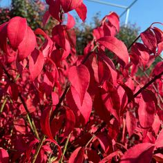 Brighten up your fall garden and get a Burning Bush delivered right to your door with Garden Goods Direct!