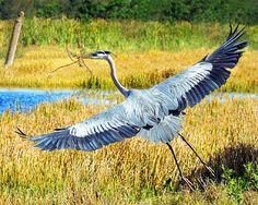 Great Blue Heron 2 By: Jerry Sundin on Photo.net