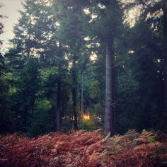 The golden glow of Sunday's sun glistens through the forest and the beautiful bronze of the curling ferns basks in its slow good night. #forest #trees #sunset #beautiful #landscape #country #nature #wild #sunset #fern #autumn #fall #foliage #newforest #hampshire #sunday #peace