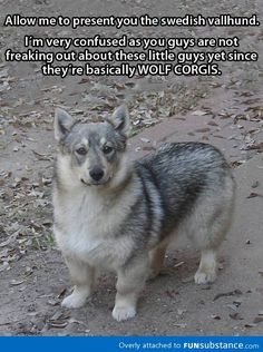 Wolf + Corgi = This awesome dog