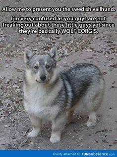 Wolf + Corgi = This awesome dog