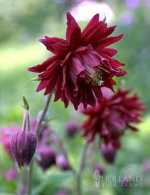 "Ruby Port Columbine | 18-24"" tall, 12-18"" spacing"