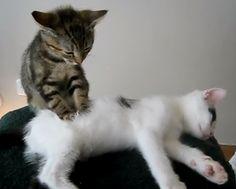 Kitty Massage - Watch video here: http://dailycatsvideos.com/2011/12/06/kitty-massage/