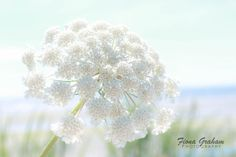 By the Sea - flower - nature - seaside - beach - photography - blue - white  by fionagraham on Etsy