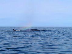 Fin Whale blows a rainbow from it's spout, Pleasant Bay, Cape Breton. Fin Whale, Whales, Cabot Trail, Enchanted Island, Atlantic Canada, Cape Breton, Prince Edward Island, New Brunswick, Adventure Tours