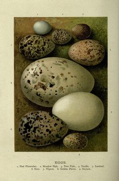 Eggs from Familiar Wild Birds, 1883. Shared the Biodiversity Heritage Library.