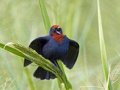 garibaldi (Chrysomus ruficapillus) Chestnut-capped Blackbird by Claudio Lopes, via 500px