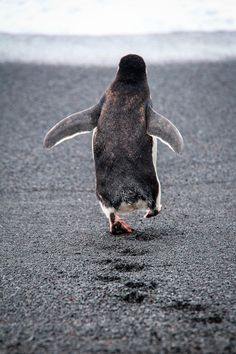 ethereo:  Francois Lemmens, Penguin walk