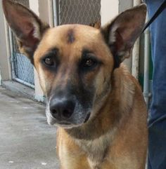 Zeus - THIS DOG MUST BE ADOPTED/RESCUED By JUNE 1, 2014 - THIS SHELTER EUTHANIZES FOR SPACE - Belgian Shepherd Malinois mix - Adult - McMinn Regional Humane Society - Athens, TN. - http://www.mrhumane.org/ - https://www.facebook.com/pages/McMinn-Regional-Humane-Society/163034603723051 - http://www.petfinder.com/petdetail/29145184/