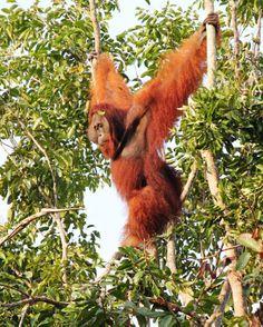 Next big idea in forest conservation? Privatizing conservation management Q & A with Orangutan Land Trust Scientific Advisor, Erik Meijaard