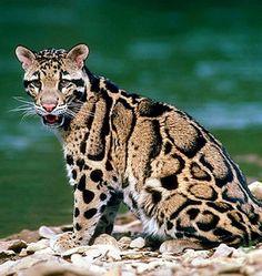 El Ocelote (del náhuatl océlotl) (Leopardus pardalis, antes Felis pardalis)