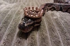 Un python royal qui prend son nom au sérieux! | Buzzly