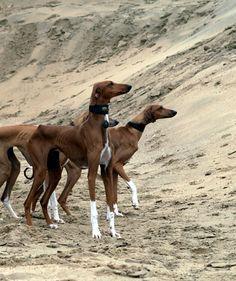 Azawakh: Lovely breed!