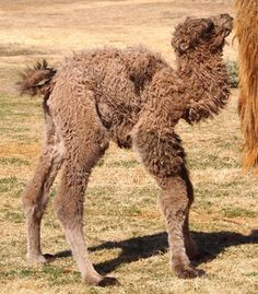 """This female bactrain camel was born at the Lee Richardson Zoo in Kansas weighing 121 pounds and standing five feet tall. She has been described by her keeper as """"strong and feisty."""" (From: Photos: See the 35 Cutest Zoo Babies of 2012)"""