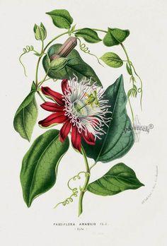 Passion Flower, Passiflora amabilis 1845 Louis Van Houtte Botanical Prints Tulip, Peony, Camellia, Magnolia