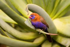 Purple Colored-Birds - All information about Purple Colored Birds. Pictures of Purple Colored Birds and many more. #PurpleColoredBirds #Birds #PurpleBirds #Purple Grenadier