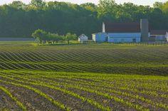 Corns 'a Sproutin'