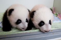 "And you can call us Mei Huan and Mei Lun! The #ZAPandaCubs were named today! (October 23, 2013). Mei Huan's on the left, and ""older"" sister (by two minutes) Mei Lun is on the right. Happy 100th day, boys!"