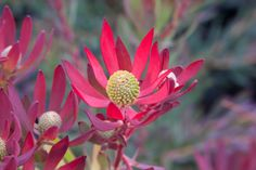 This rounded shrub is a mass of bright flowers in winter. Ideal for low maintenance, low water use gardens. Ideal for low maintenance, low water use gardens. Bright Flowers, Cut Flowers, Yellow Flowers, Wild Flowers, Australian Flowers, Australian Plants, Types Of Soil, Types Of Plants, Low Growing Shrubs