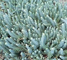 "Sedum reflexum 'Blue Spruce'  Sedum reflexum - Semi-evergreen, bluish-green, linear, fleshy leaves in a whorl around stem.  Bright yellow flowers early to late summer.   Mature height 4"" - 6""."