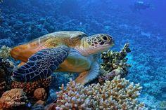 A Proper Color of Red Sea - Big sea turtle underwater Red Sea, depth Turtle Love, Green Turtle, Flora Marina, Sea Turtle Pictures, Turtle Names, Baby Turtles, Sea Turtles, Loggerhead Turtle, Sea Shepherd