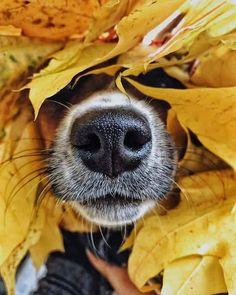Journal d'art Québec: Appel de créations septembre 2020 Jack Russell Terriers, Animals And Pets, Funny Animals, Cute Animals, I Love Dogs, Cute Dogs, Awesome Dogs, Animal Noses, Corgi Funny