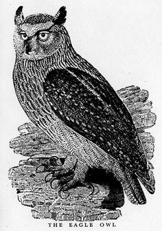 thomas bewick - Google Search Bird Artwork, Owl, Birds, Google Search, Animals, Feathers, Animales, Animaux, Owls