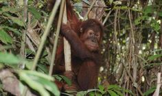 """Orangutan experts plead for Australian food manufacturers to reject palm oil - Apes, elephants, rhinos & tigers at dire risk if unsustainable palm oil plantations allowed in Sumatran reserve"""