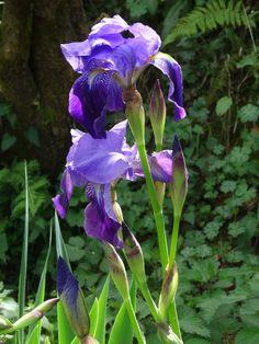 Siberian iris. Flor-de-lis-da-sibéria. Iris sibirica
