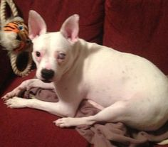 CLOVER is an adoptable French Bulldog Dog in Allendale, NJ. Clover is a sweet 2 year old girl who is already spayed, up to date on her shots, microchipped and heartworm negative. She is a perfect size...