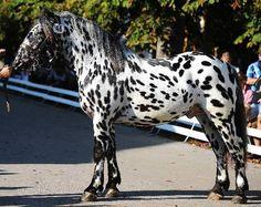 Noriker / Pinzgauer - stallion Gin Vulkan XV