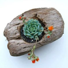 Driftwood planters with succulents