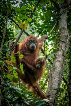 Travel to Bukit Lawang in Sumatra, Indonesia and see Orangutan, the great ape, you can get very close up with them in their natural habitat. #indonesia #orangutan #sumatra #asia #ape #monkey
