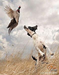 Spaniel & pheasant - country life