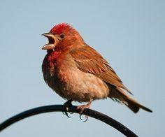 摘要:鳥兒高聲吟唱是天性,但是當鳥類不再吟唱而是瘋狂的大吼大叫,那對主人和鄰居來說可就不太妙了。只要事先搞清楚為何鳥類會大叫,才有辦法去改善和訓練。以下提出了鳥禽尖叫的常見原因及如何訓練改善。  一、寵物鸚鵡會叫是天性  1、溝通聯絡感情  鸚鵡叫聲是牠們的溝通工具。在野外,鸚鵡大多為群居的方式一起生活,牠們利用不同的叫聲來提醒同伴各種危險及連絡感情,甚至用於辨識自己的家人和族群。  2、呼叫同伴行動...  看更多詳文請見:http://www.momgoe.com/article2504.html  一、寵物鸚鵡會叫是天性  1、溝通聯絡感情  鸚鵡叫聲是牠們的溝通工具。在野外,鸚...