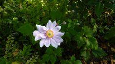 Høstanemone - Huspensis splendens
