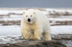 Polar Bear Cub Walking on Shore | Artic National Wildlife Refuge Alaska| Photo by Ian Plant  #polarbear #cub #animal #animalphotography #photographer #wildlife #bear #alaska #nationalwildlife #artic #travel #wanderlust #dreamscape