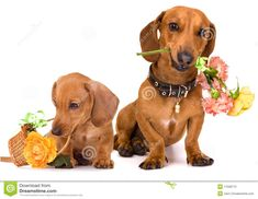female dachshund flower - Google Search