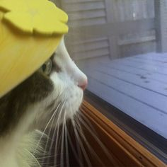 I sure hope Orange Kitty swings by the deck so I can show her my newest yellow hat! #OliverPoons #yellowhatsforcats  #catlife #windowwatching #waitingpatiently #childrensbooks #cats #catsofinstagram #catsinhats #yellow #yellowhat #stylish #hatsforcats