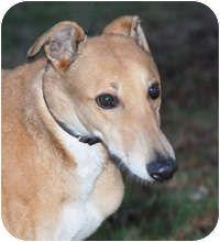 Ware, MA - Greyhound. Meet Sammy a Dog for Adoption.