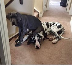 Ryker and Diesel the European Great Dane Puppies Harlequin from Tennessee and blue from Croatia Both about 200 lbs +… Great Dane Funny, Great Dane Dogs, I Love Dogs, Cute Dogs, Baby Great Dane, Great Dane Facts, Funny Dogs, Funny Memes, Big Dogs