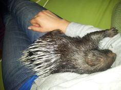 Meet Bilbo. He is an african crested porcupine and has been resident at Horse Boy since January 2014. As you can see he is a big fan of cuddles.