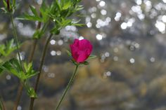 pink flower with glistening water from behind